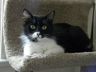 Domestic Mediumhair Cat for adoption in Prescott, Arizona - Tina