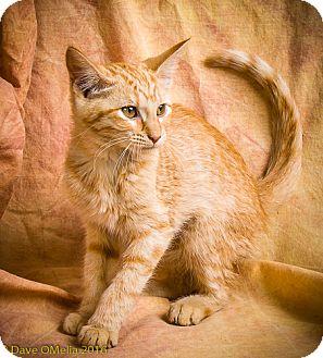 Domestic Shorthair Kitten for adoption in Anna, Illinois - HONEY