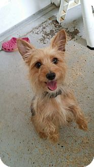Yorkie, Yorkshire Terrier Mix Dog for adoption in Fort Myers, Florida - Snookie