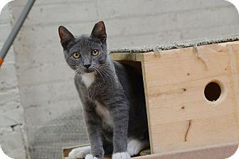 Domestic Shorthair Kitten for adoption in Brooklyn, New York - Pineapple, Melon & Grape