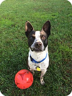 Boston Terrier/Blue Heeler Mix Puppy for adoption in Hanover, Ontario - Ollie