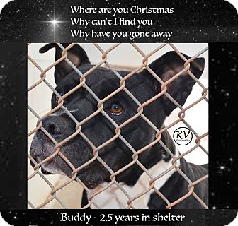 Staffordshire Bull Terrier Dog for adoption in Sautee, Georgia - Buddy