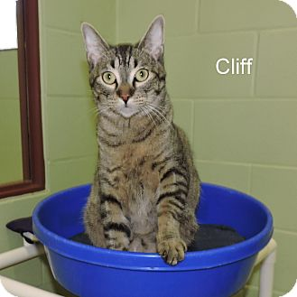 Domestic Shorthair Kitten for adoption in Slidell, Louisiana - Cliff