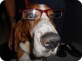 Basset Hound Mix Dog for adoption in Lockhart, Texas - Brutus