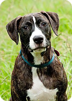 Plott Hound Mix Puppy for adoption in Tallahassee, Florida - Skipper