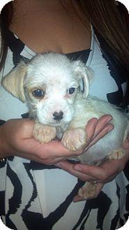 Schnauzer (Miniature)/Shih Tzu Mix Puppy for adoption in Hazard, Kentucky - Tuffy