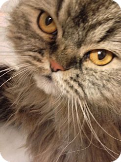 Persian Cat for adoption in Brooklyn, New York - Autumn