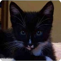 Adopt A Pet :: Scrappy - Portland, OR