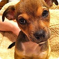 Adopt A Pet :: Ani - Phoenix, AZ