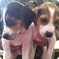 Adopt A Pet :: Sawyer - Bridgewater, NJ