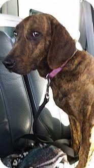 Plott Hound Mix Dog for adoption in North East, Florida - Reba