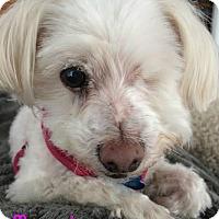 Maltese Dog for adoption in House Springs, Missouri - Mercedes