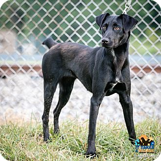 Labrador Retriever Mix Dog for adoption in Evansville, Indiana - Hallie