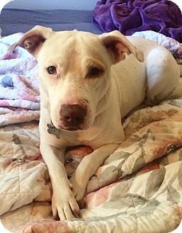 Labrador Retriever Mix Dog for adoption in Fort Collins, Colorado - Nala