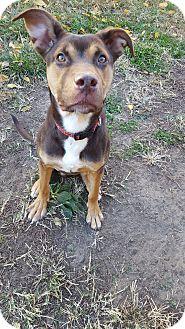 Australian Shepherd/Labrador Retriever Mix Dog for adoption in Fort Riley, Kansas - Reeses