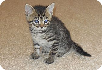 American Shorthair Kitten for adoption in Burgaw, North Carolina - Rascal