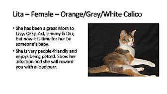Calico Cat for adoption in Friendswood, Texas - Lita