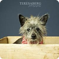 Adopt A Pet :: CJ - McKinney, TX
