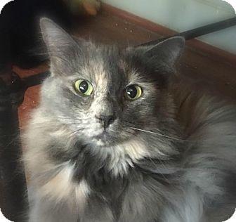 Domestic Longhair Cat for adoption in Burlington, North Carolina - TESS