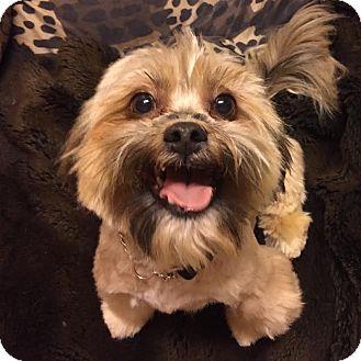 Lhasa Apso Mix Dog for adoption in Los Angeles, California - JASPER