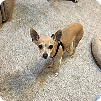 Adopt A Pet :: Bambi - Everett, WA