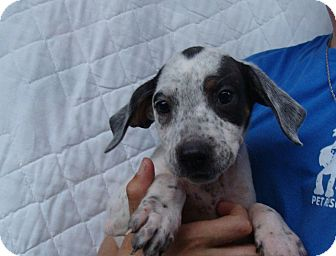 Beagle Mix Puppy for adoption in Oviedo, Florida - Annie