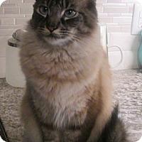 Adopt A Pet :: Maverick - Gilbert, AZ