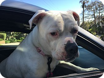 American Bulldog Mix Dog for adoption in Beverly Hills, California - Macy