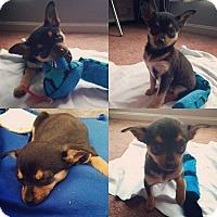Corgi/Chihuahua Mix Puppy for adoption in MCLEAN, Virginia - Alex