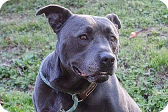 Pit Bull Terrier Mix Dog for adoption in Asheville, North Carolina - Krank