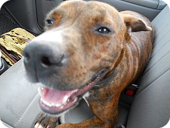 Pit Bull Terrier/Boxer Mix Dog for adoption in Conyers, Georgia - Schatzi