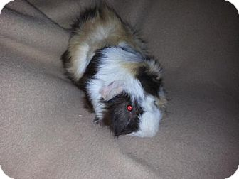 Guinea Pig for adoption in Pittsburgh, Pennsylvania - Scotty