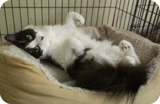 Domestic Shorthair Kitten for adoption in Merrifield, Virginia - Beluga