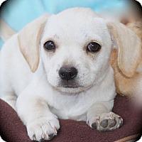 Adopt A Pet :: Helga - La Habra Heights, CA