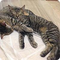 Adopt A Pet :: Tommy - Merrifield, VA