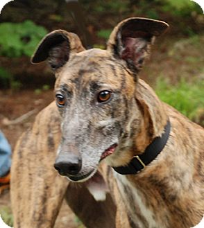Greyhound Dog for adoption in Ware, Massachusetts - Luck
