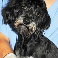 Tibetan Terrier/Poodle (Miniature) Mix Dog for adoption in Agoura Hills, California - Chance