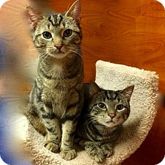 Domestic Shorthair Cat for adoption in Long Beach, New York - Keith Richards