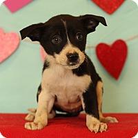 Adopt A Pet :: Lara - Waldorf, MD
