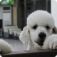 Adopt A Pet :: Yang-yang - Fairfax, VA