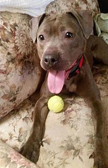 American Pit Bull Terrier/Vizsla Mix Dog for adoption in Manhattan, New York - Kendella/Angel