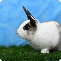 Adopt A Pet :: Busy Bunny - Pflugerville, TX