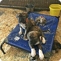 Adopt A Pet :: Tank pending adoption - Manchester, CT