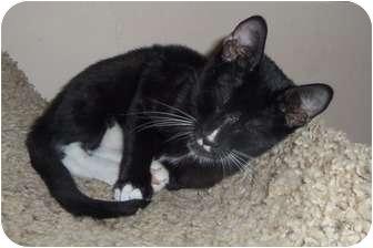 Domestic Shorthair Kitten for adoption in Orlando, Florida - Alex