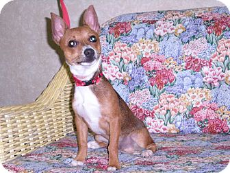 """Chihuahua Mix Dog for adoption in New Castle, Pennsylvania - """" Poncho """""""