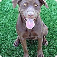 Adopt A Pet :: Mocha - Santa Ana, CA