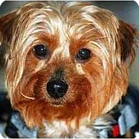 Adopt A Pet :: HONEY/SPEC NEEDS - Commerce TWP, MI