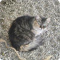 Domestic Mediumhair Cat for adoption in Sherman Oaks, California - Mai-Lyn - sponsor only