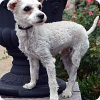 Adopt A Pet :: Bosco-Adoption pending - Bridgeton, MO