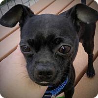 Adopt A Pet :: Quasimodo - AUSTIN, TX